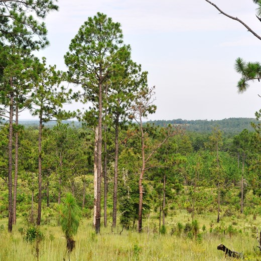 Longleaf Ridge - Longleaf Pine Regeneration with Mature Longleaf Pine 2