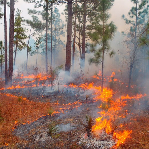 Prescribed Burning in Longleaf Stand