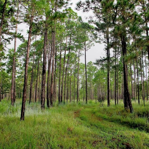 Open forest floor of longleaf pine stand at TNC Roy E. Larsen Sandyland Preserve, Hardin Co TX. Photo credit: Rachel Rommel.jpg