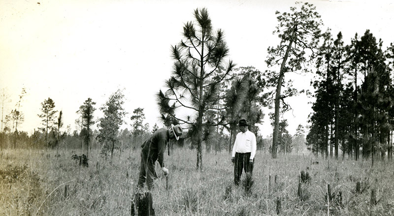 Longleaf in 1939 on the Angelina National Forest, Photo 3