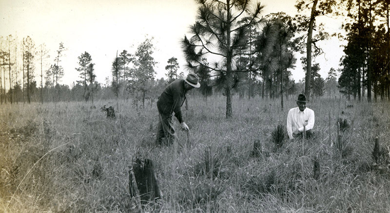 Longleaf in 1939 on the Angelina National Forest, Photo 1