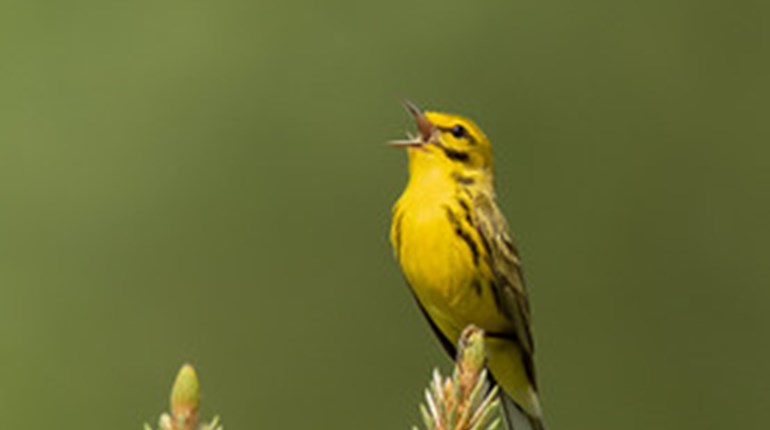 Are Birds Benefitting from Texas Longleaf Conservation Efforts? (Preliminary Report)