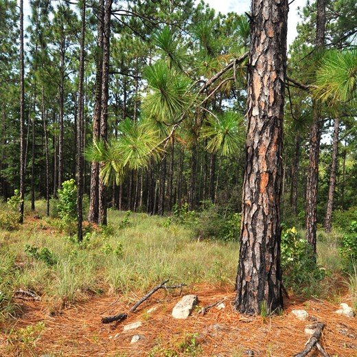 Longleaf Ridge - Longleaf Pine and Cones