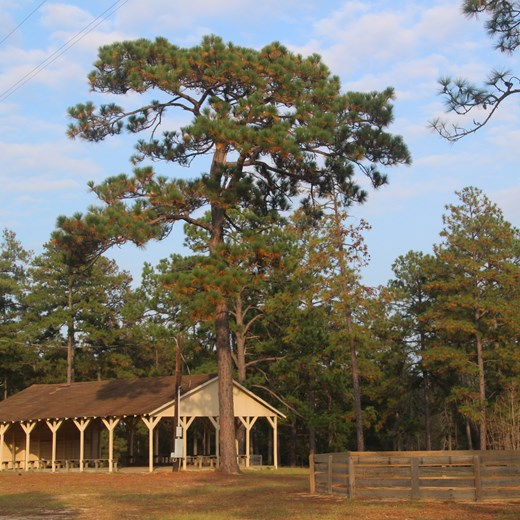 Old Flat Top Longleaf at East Texas Baptist Encampment, Newton County