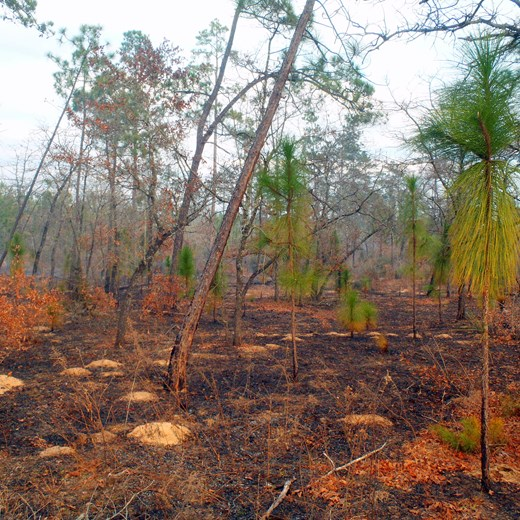 Recently Burned Longleaf Stand