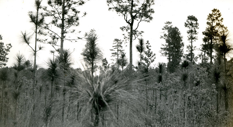 Longleaf in 1939 on the Angelina National Forest, Photo 2