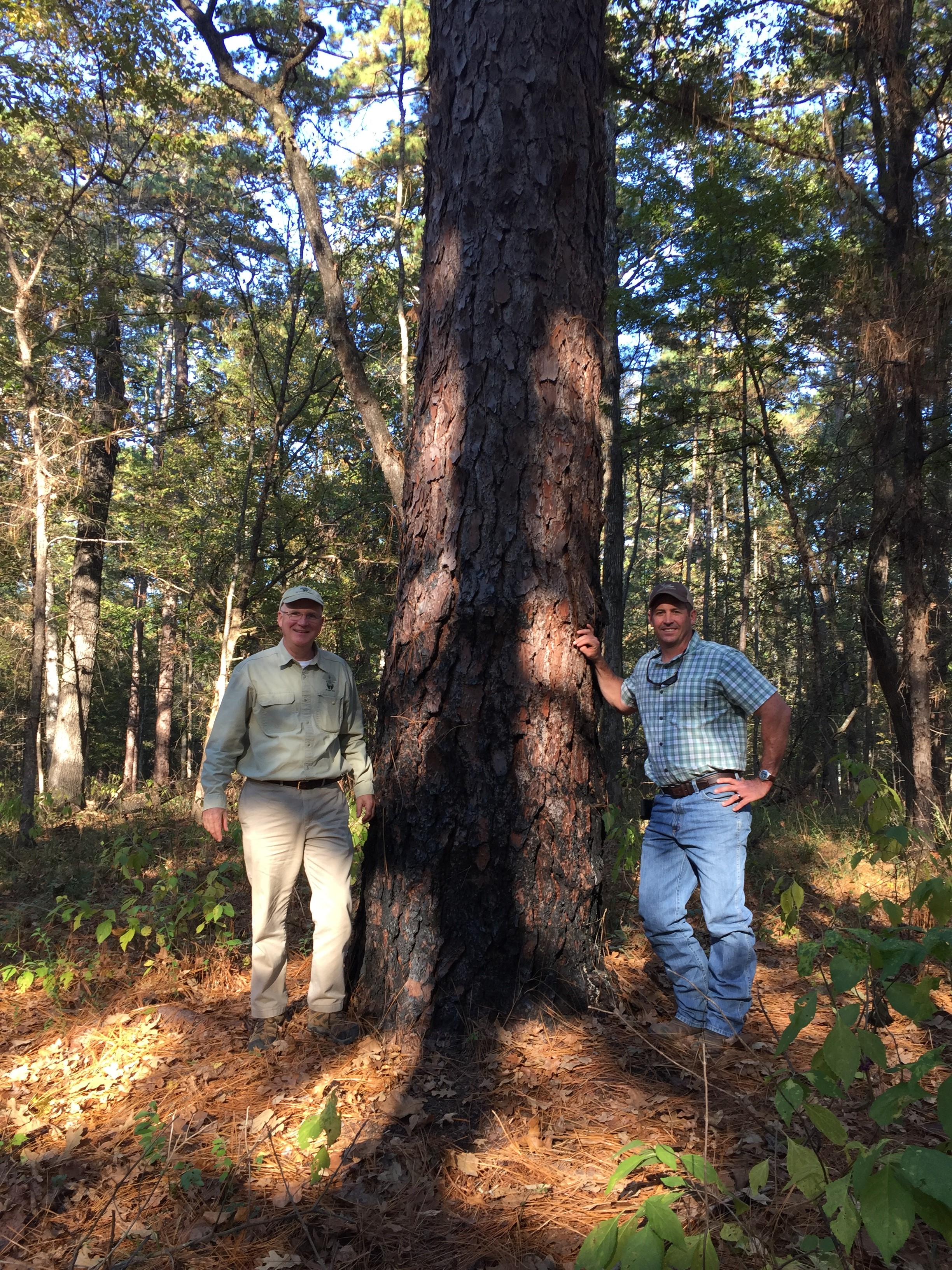 Robert Abernethy, Longleaf Alliance, and Robert Sanders, Boggy Slough Manager, standing next to the recently recognized Texas Champion Longleaf Pine Tree. Photo credit: Kent Evans