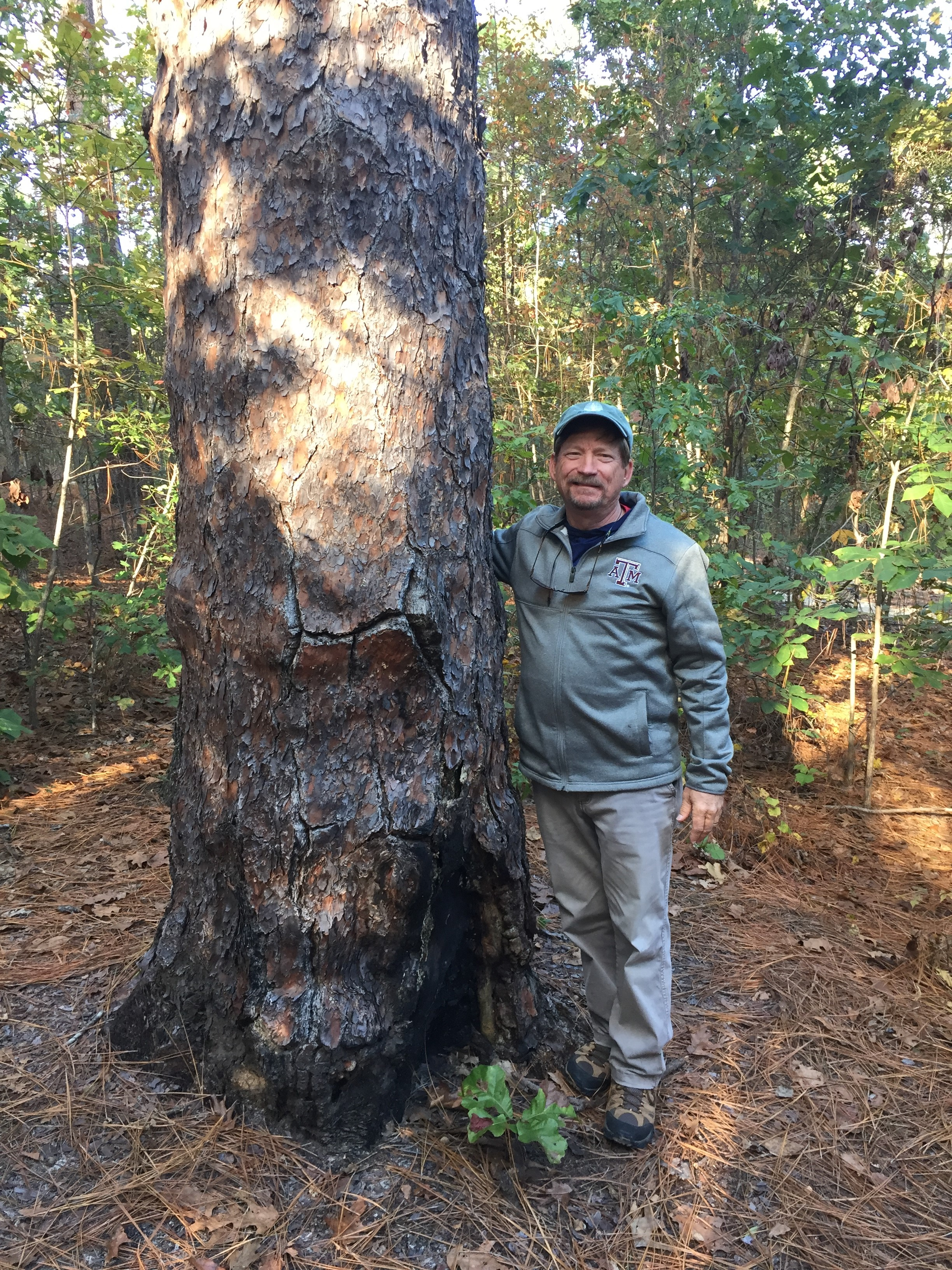 Oldest Longleaf Pine Tree