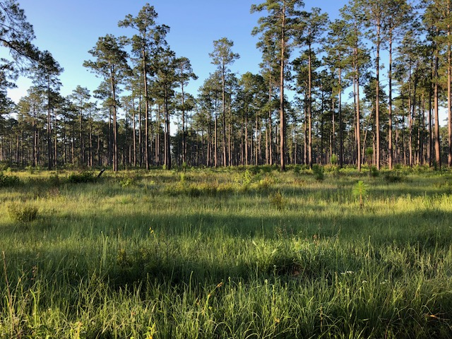 Landscape of old slash pine with regular burning by the Texas A&M Forest Service produced amazing understory typical of