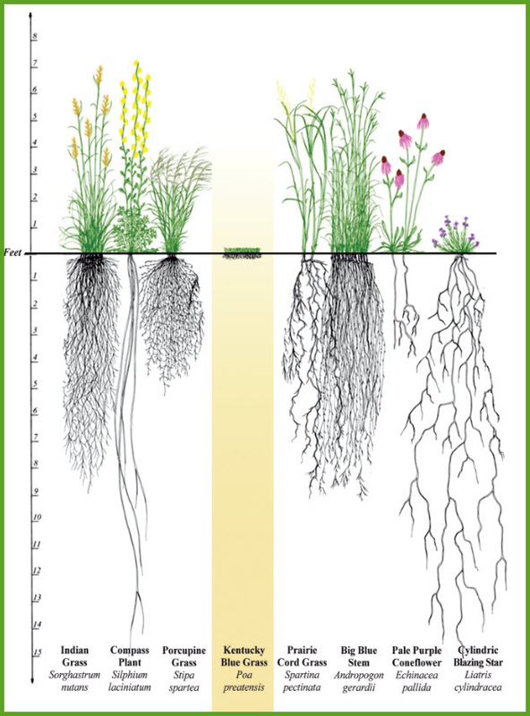 Artistic rendition of rooting depths of various plants native to forests with a healthy ground cover. East Texas has these blue stem grasses, gay feather, etc.