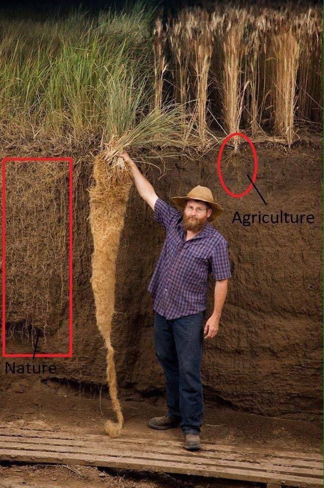 Nebraska educator standing next to bluestem grass contrasted to annual grain crop root depths. (From the images of the tall grass prairie center)