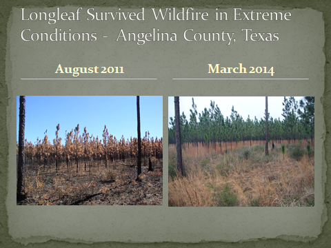 Longleaf Survived Wildfire in Extreme Conditions Angelina County, Texas